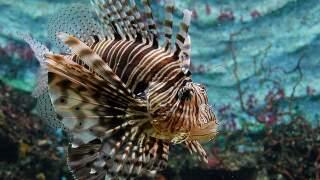 Sharpen those spears: Lionfish season is near