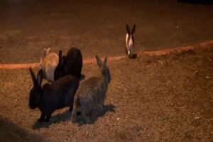 Killer rabbit virus discovered in Southern Nevada amid multi-state outbreak