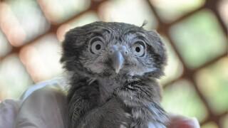 Phoenix Zoo pygmy owl
