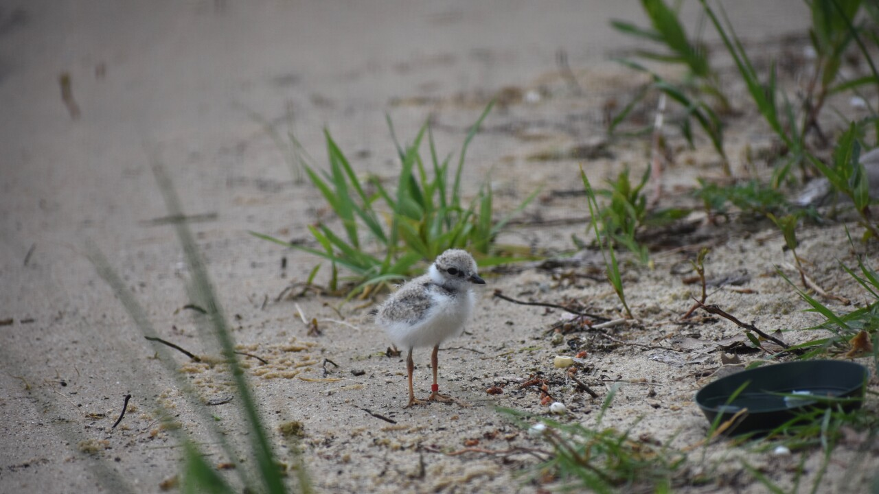 Piping Plover 2.jpg