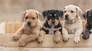 Watch out for online puppy scams during this pandemic