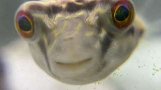 A pufferfish in Virginia has over 27,000 followers on Instagram