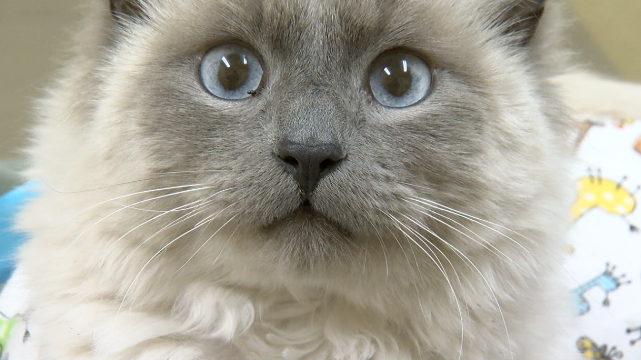 Cat survives blow dart attack in Tucson