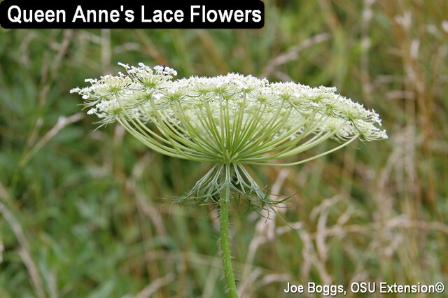 Wild Carrot - Queen Annes Lace - JB.jpg