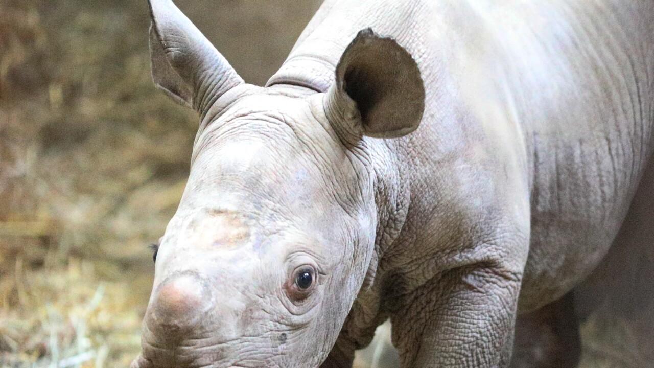potter park zoo black rhino calf 3.JPG