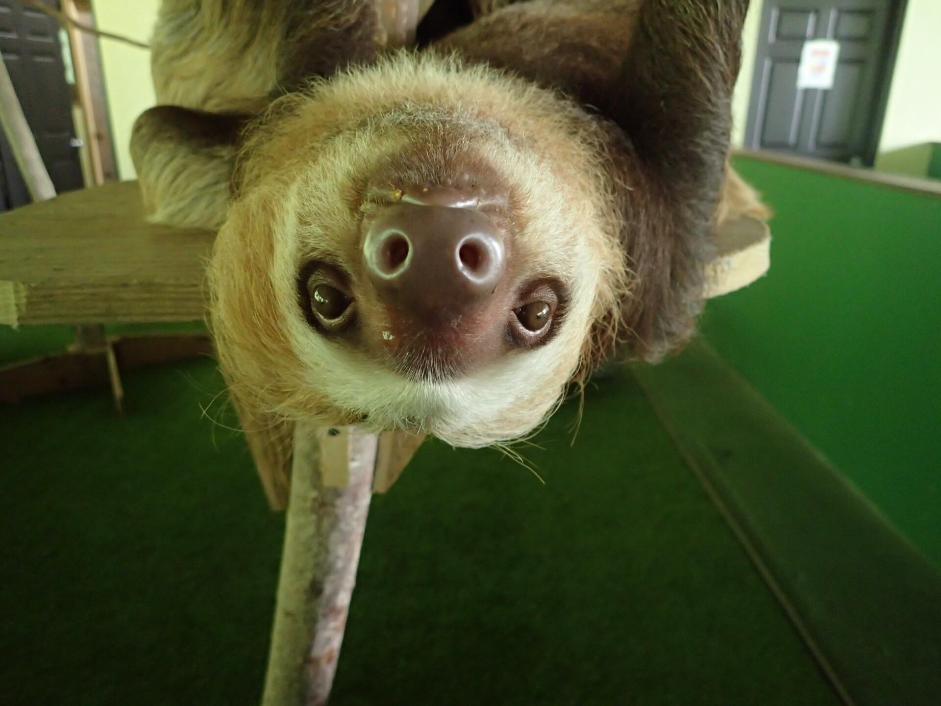 Baby Sloths (17).JPG
