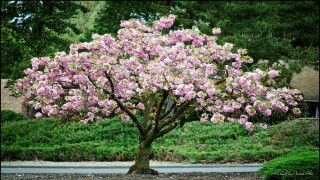 You can get your own cherry blossom tree at Home Depot for just $39