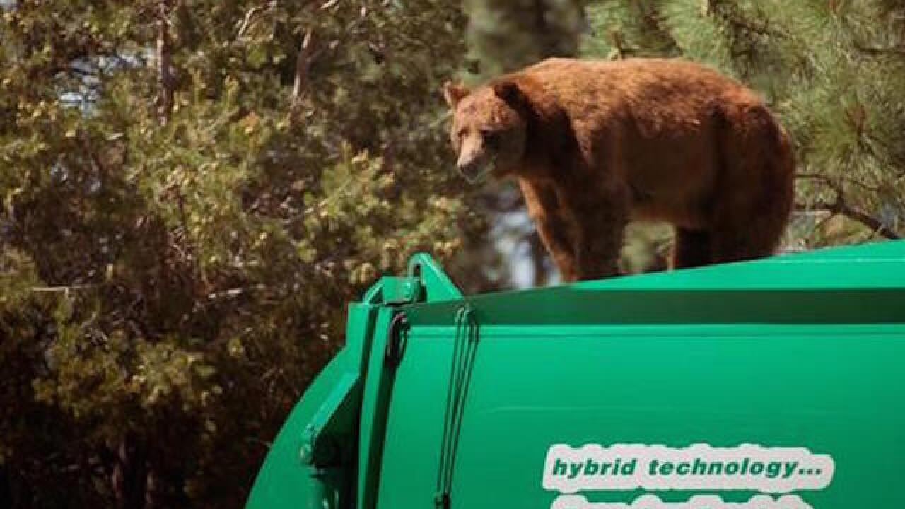 New Mexico bear hitches a ride on top of a garbage truck