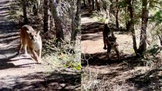 Stalked by cougar