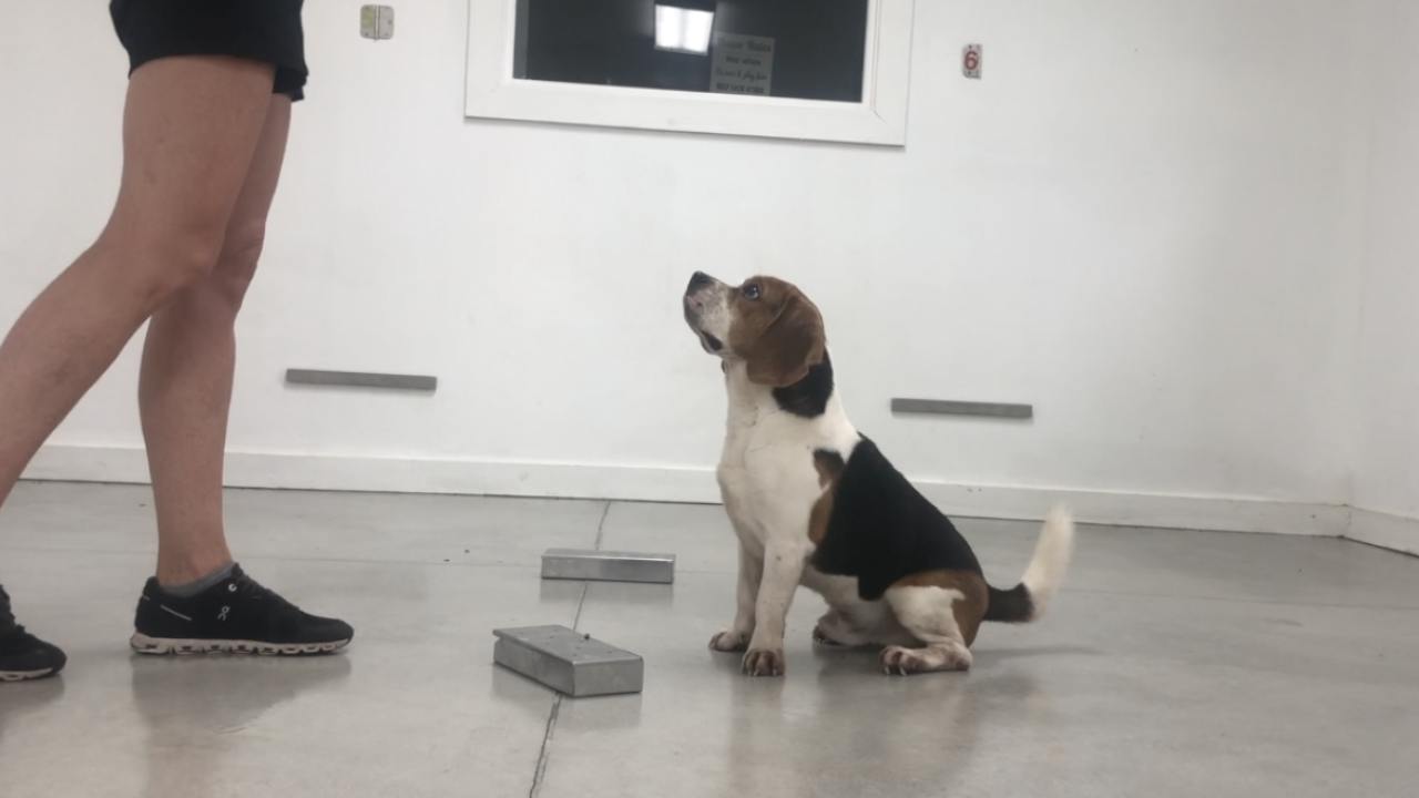 Beagles being trained to sniff out COVID-19