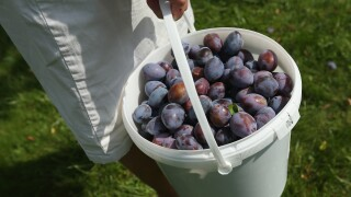 Bucket of Plums