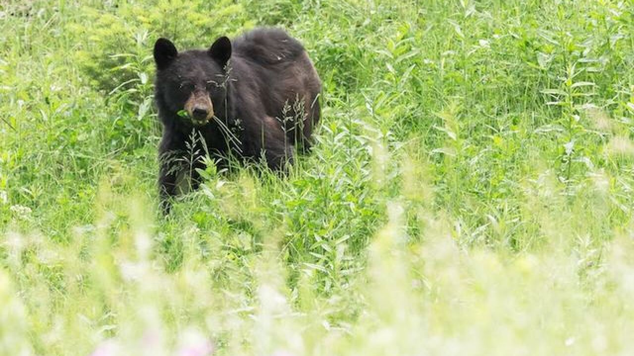 Black bear spotted in Pepper Pike by landscapers