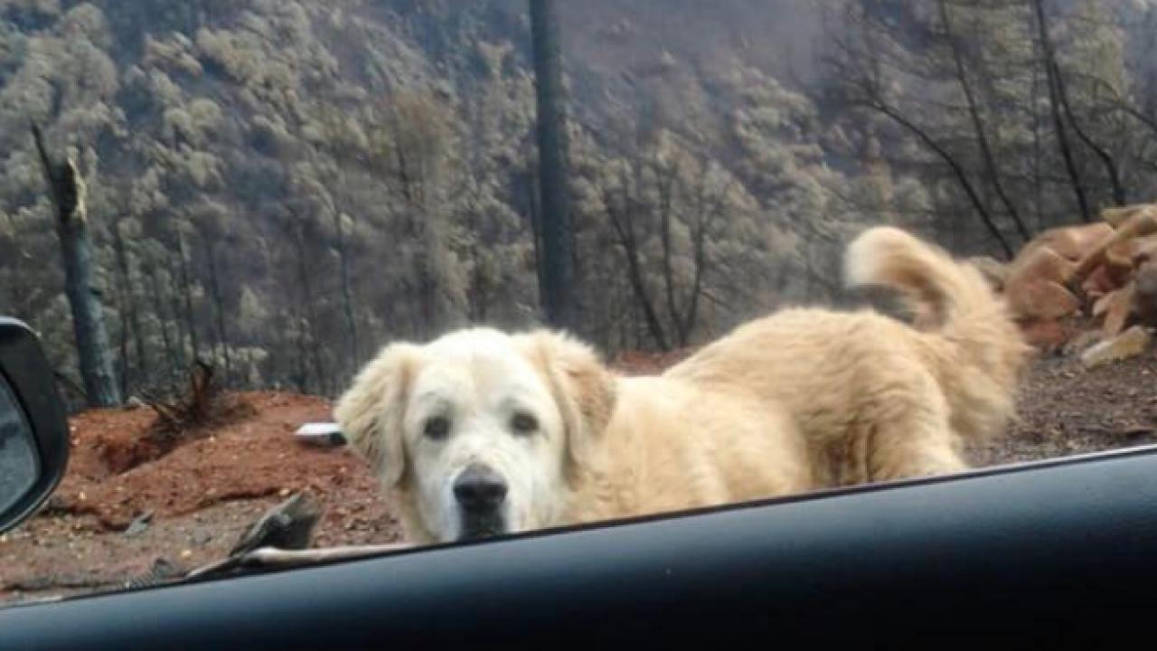 camp fire paradise guard dog waiting
