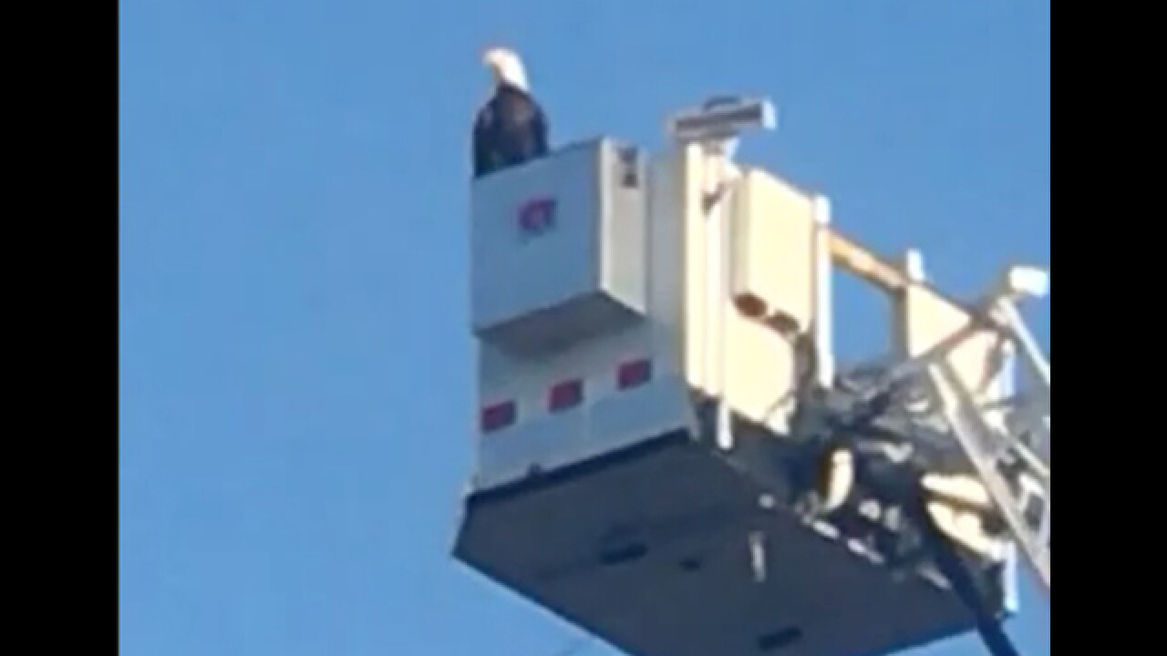 Eagle lands on flag display during 9/11 remembrance in Minn.