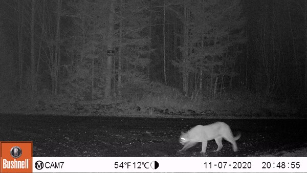 Cougar sighting Nov 7 2020.jpg