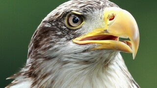 Wisconsin's bald eagle population reaches record high
