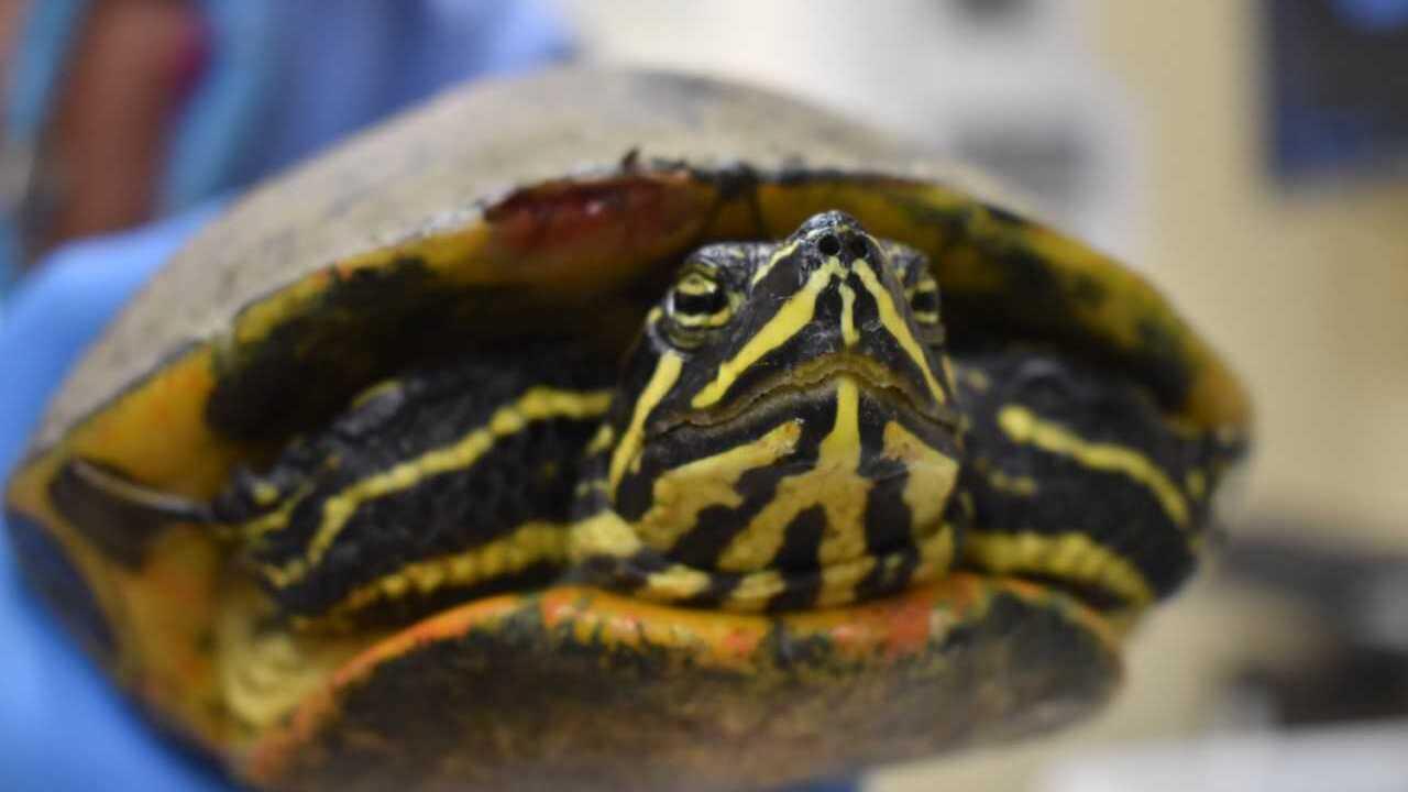 Injured turtle at CROW 3-13-19 2.jpg