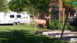Deer in yard