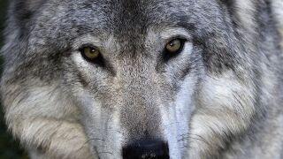 Grey_wolf.jpg