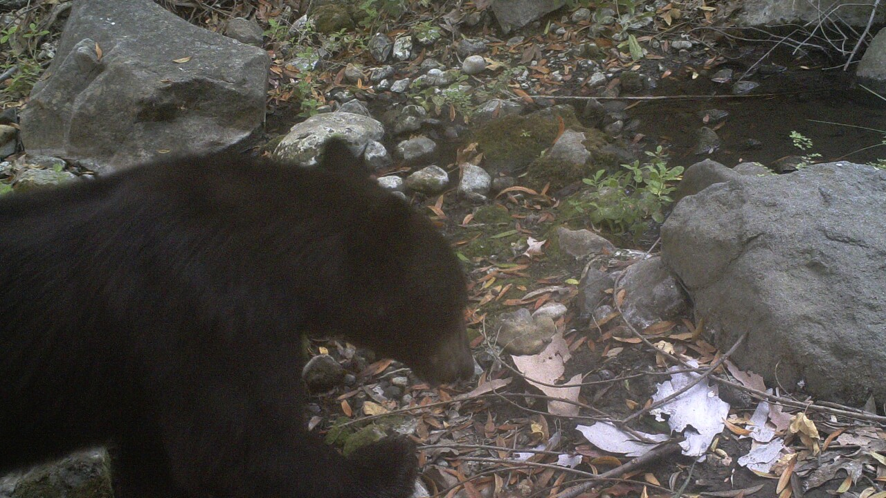 California man tackles black bear to save pet dog