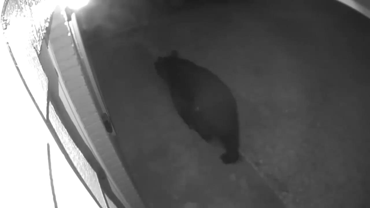 Bear sighting