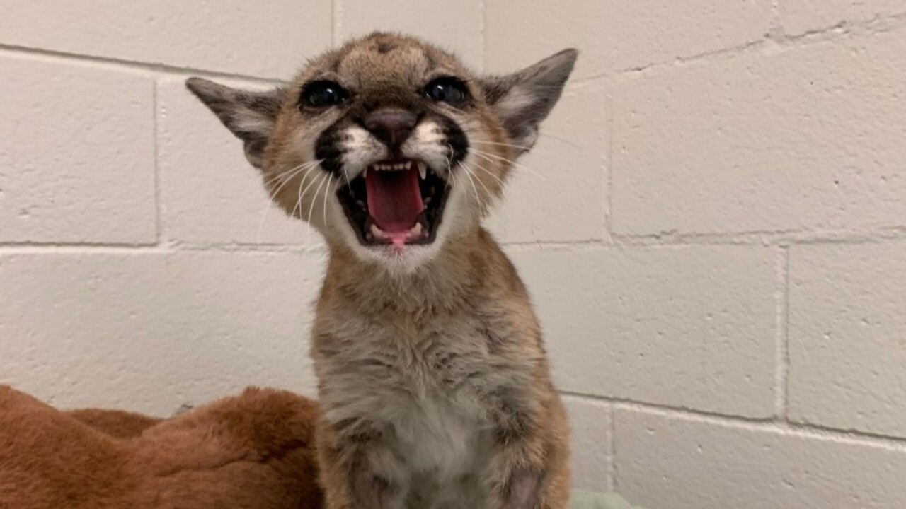 San Diego Humane Society nurses dying mountain lion cub back to health