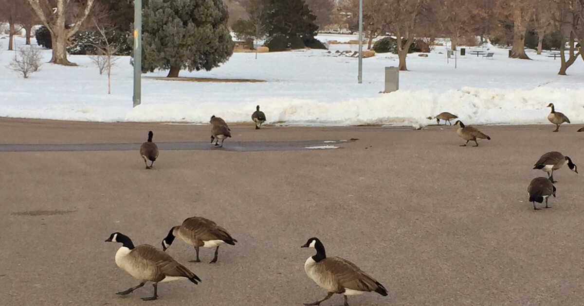 CPW: 'New duck' disease blamed for dead geese in the metro