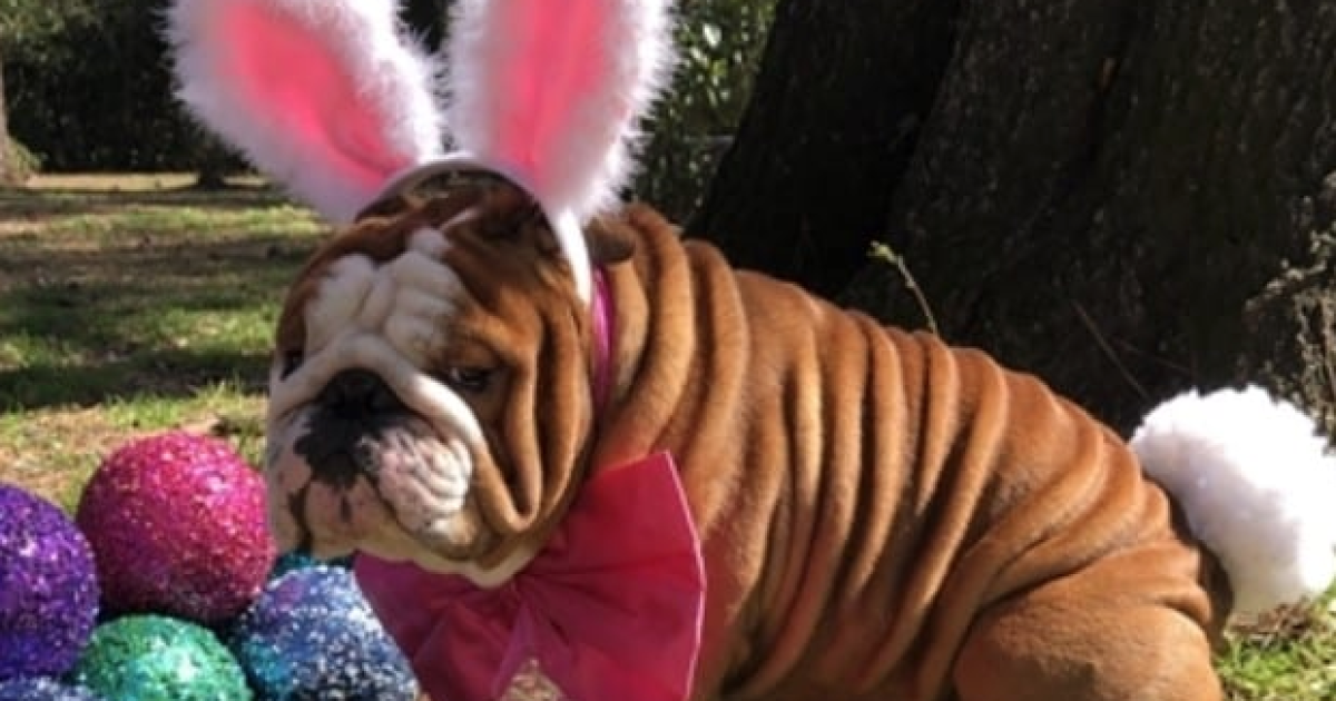 this adorable english bulldog won the contest to be the
