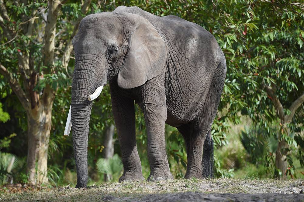 Photos: Former Virginia Zoo elephant dies at Zoo Miami afterconfrontation