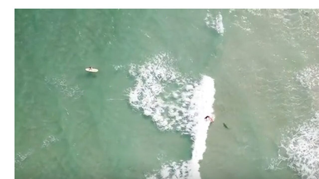 Drone video records surfer, sharks sharing the ocean on the Treasure Coast
