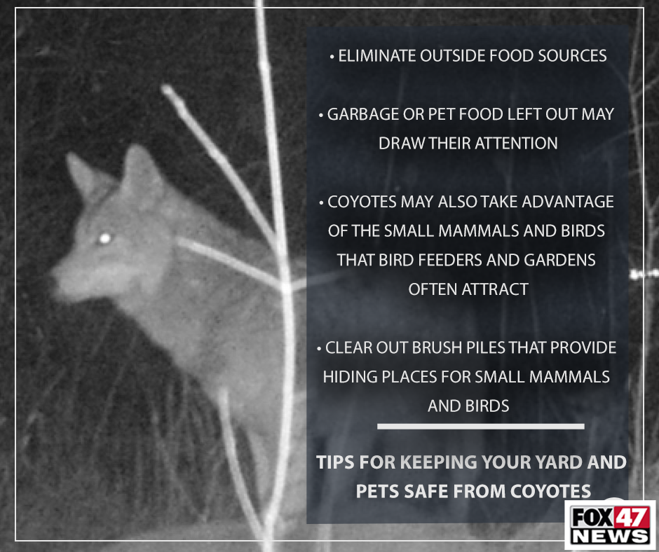 Tips for keeping your yard and pets safe from coyotes