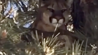 Caught on video: growling mountain lion in tree along Carlsbad street
