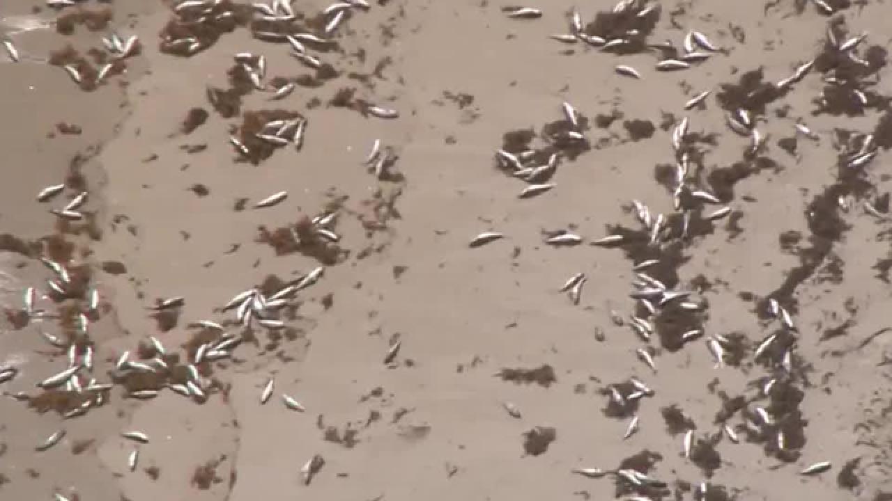 Dead fish wash ashore in North Palm Beach, Juno Beach