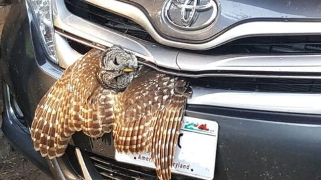 Owl wedged in car's grill freed by Wisconsin DNR warden