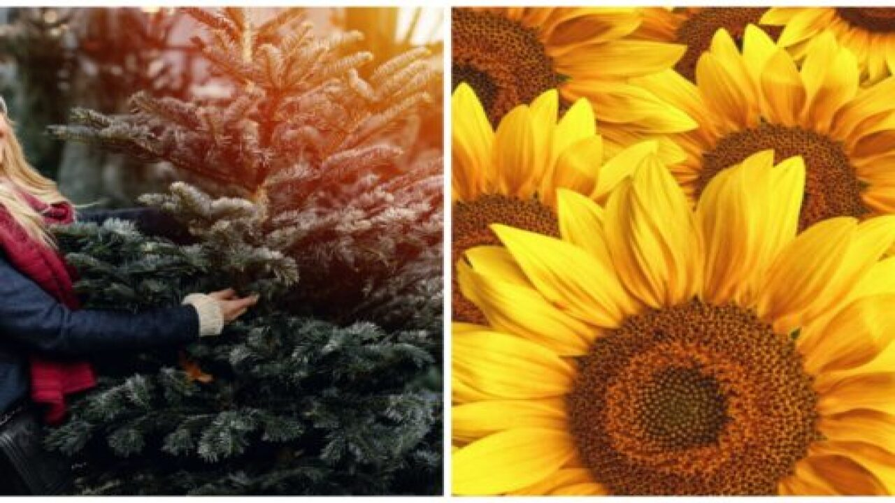 People Are Decorating Christmas Trees With Sunflowers—and They're Gorgeous
