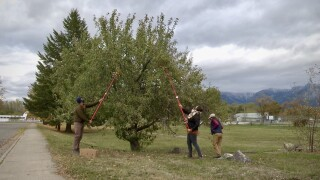 CSKT Fruit Gleaning program helps communities pick apples and more