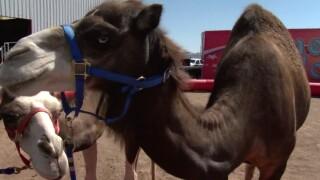 El Paso County Fair camel