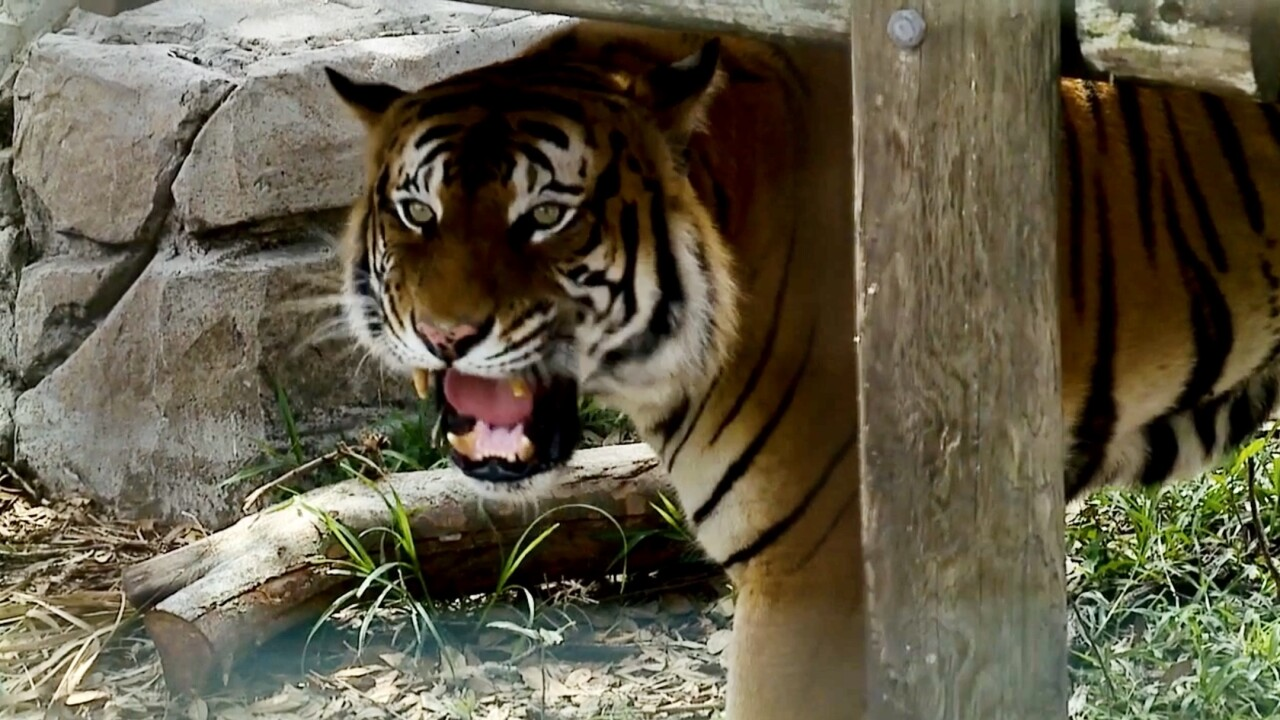Tiger at ZooTampa Lowry Park.