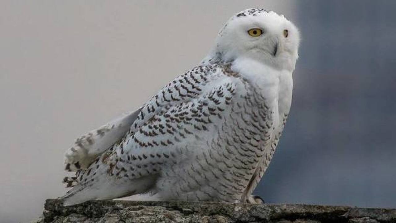 There S A Chance You Won T See As Many Snowy Owls Along Lake Erie