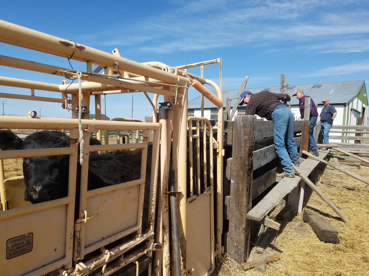 Cattle getting yearly vaccinations