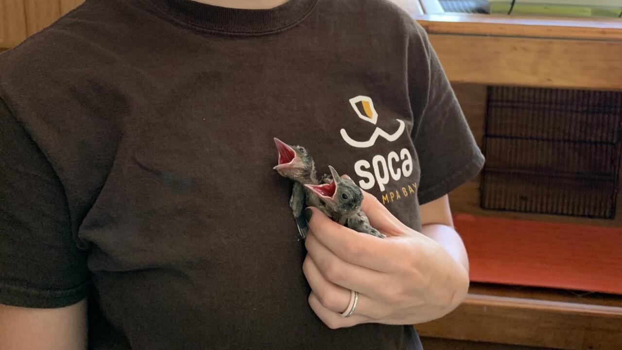 baby birds held by SPCA Tampa Bay staff member