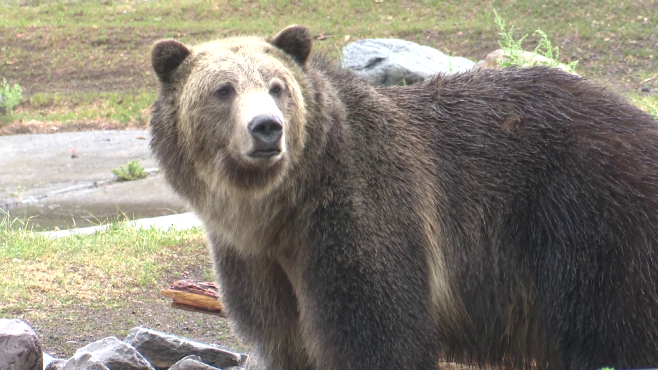 Bo the grizzly bear