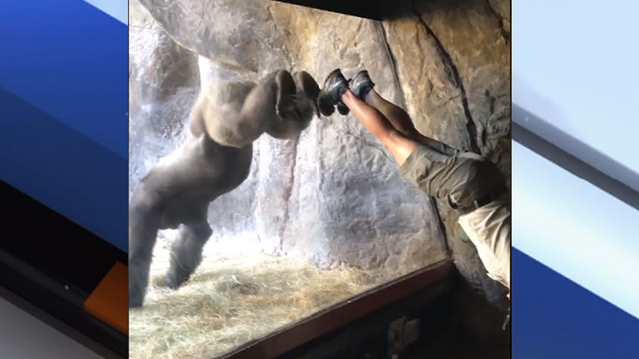 Viral video shows gorilla mimicking his trainer at Busch Gardens Tampa Bay