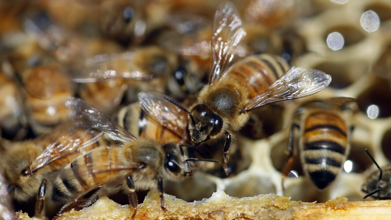 Aggressive swarm of bees kills 3 dogs in Arizona