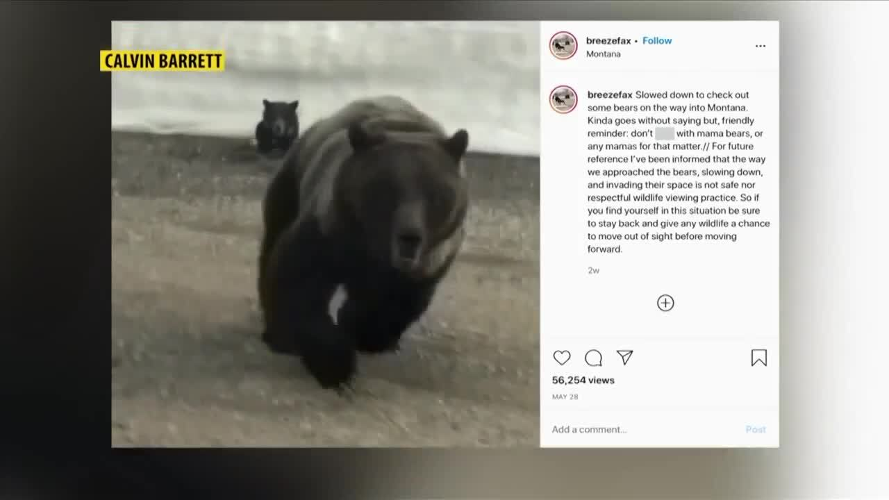 Video: mother grizzly bear charges passing car