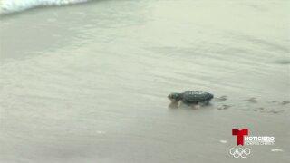 tortugas loros