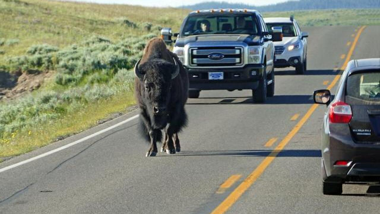 Oregon man arrested, accused of taunting Yellowstone bison in video