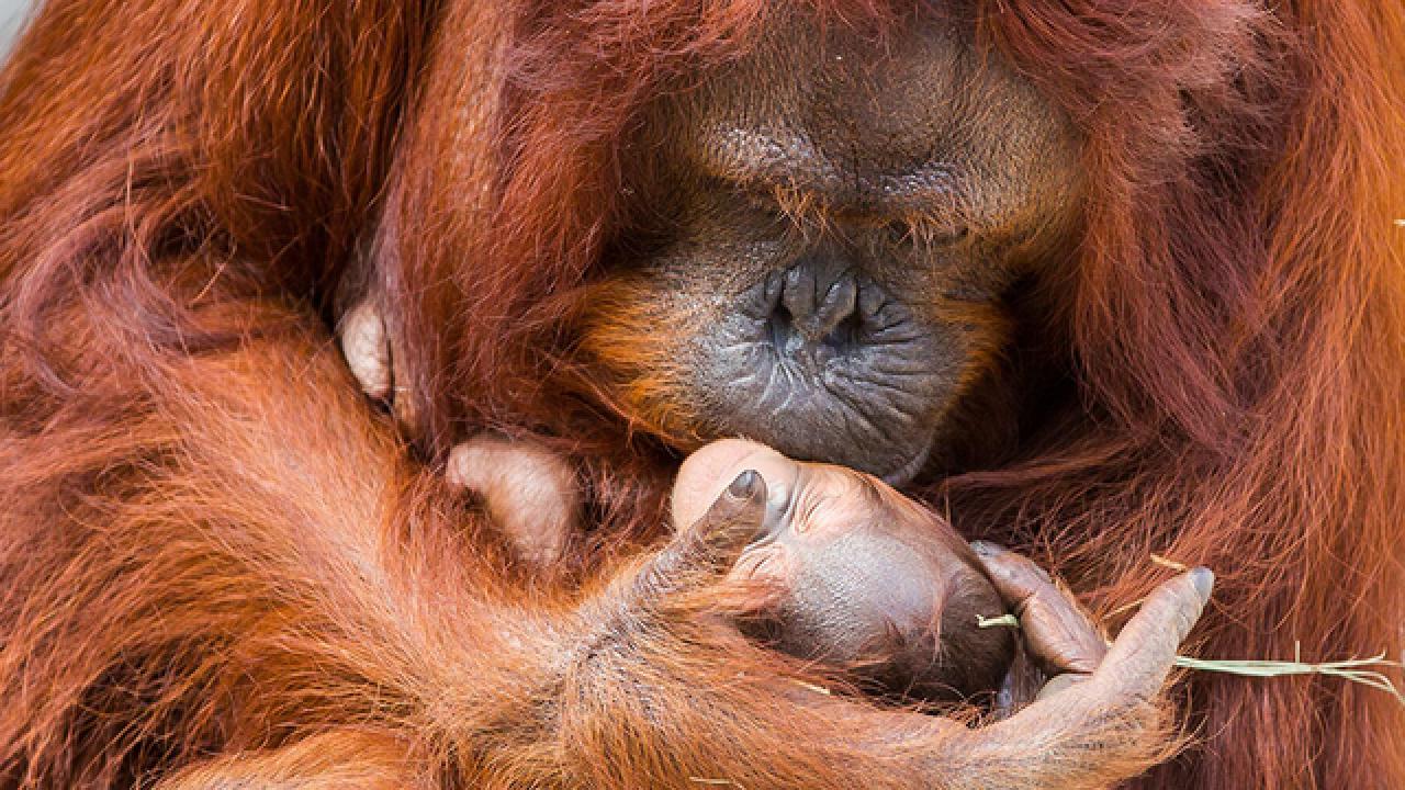 Baby Bornean Orangutan born at Lowry Park Zoo