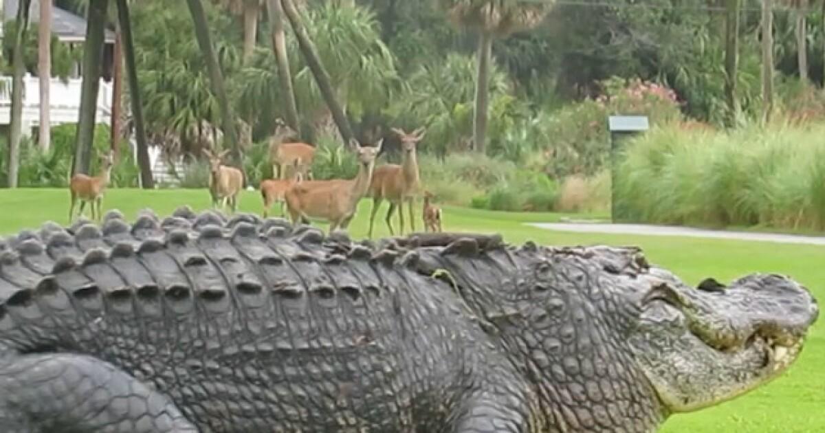 Enormous Gator Struts Across Golf Course As Herd Of Deer Looks On