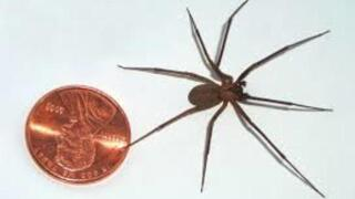 PHOTO GALLERY: Black widow and brown recluse spiders